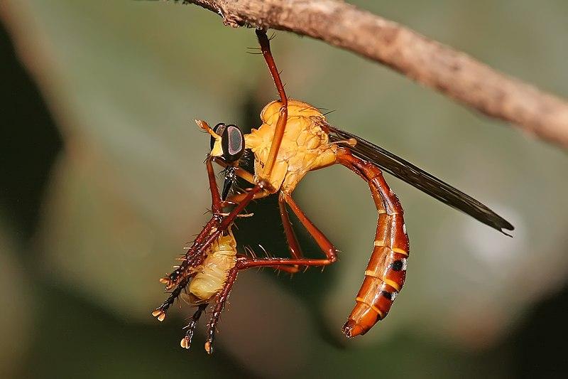 File:Pegesimallus sp robberfly.jpg
