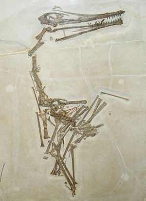 English: fossil of pterodactylus