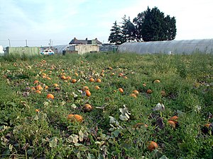 English: Pumpkin patch by Oaks Track SM6. Ther...