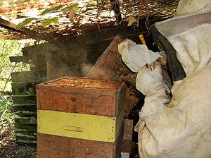 A beekeeper smoking a hive.