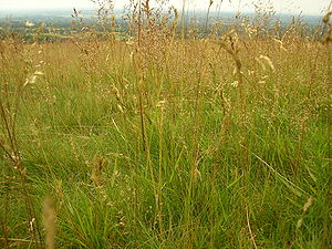 Tall grass growing wild at Lyme Park. Category...
