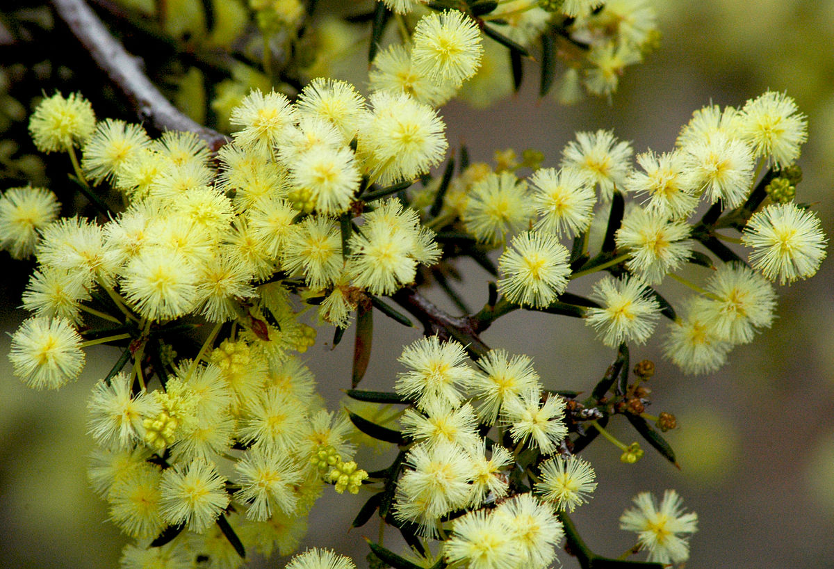 Acacia Genistifolia Wikipedia
