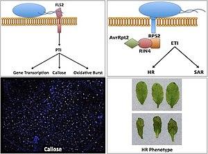 English: Plant Pathology in Arabidopsis thaliana