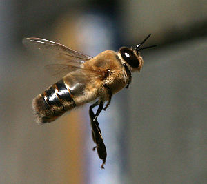 Drone of western honey bees in flight