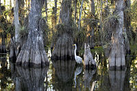 エバーグレース国立公園cypress.jpg