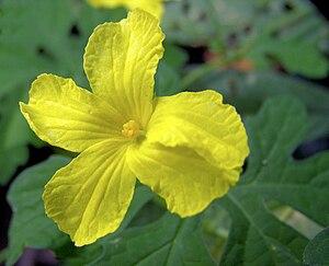 Melón Amargo (Momordica charantia)