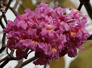 English: Pink Trumpet tree, Pau d'arco, Pink I...