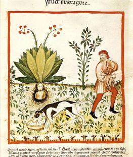 Arrachage d'une mandragore. Manuscrit Tacuinum Sanitatis, Bibliothèque nationale de Vienne, v. 1390.