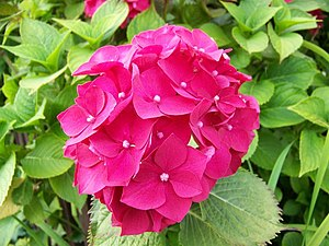 English: Hydrangea bloom, Stop Street In the l...
