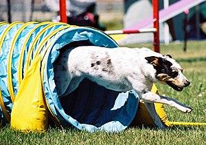 English: Mixed-breed dog doing dog agility Mix...