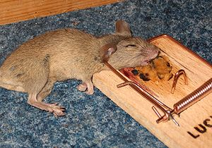 Mousetrap with mouse