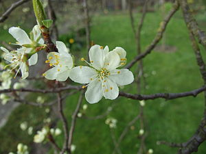 plum flower (kind unknown)
