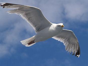 English: Flying Herring Gull (Larus argentatus...