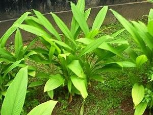 Turmeric plant found in Dakshina Kannada distr...