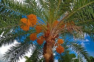 English: Date palm tree বাংলা: খেজুর গাছ