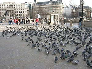 English: London: Trafalgar square, pigeons Pig...