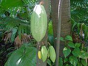 Cacao, uno de sus principales productos de exportación.