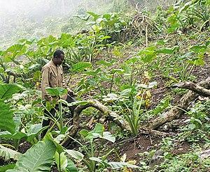 A Bakweri farmer working his cocoyam field on ...