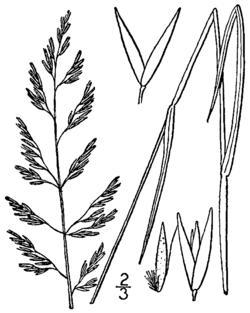 Calamagrostis pickeringii