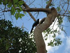 Cyanocorax yucatanicus English: Yucatan Jay in...