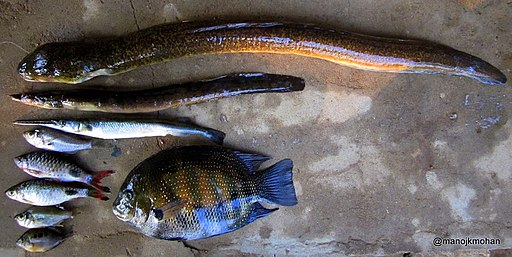 Fishs From Chalakudy River Set 1