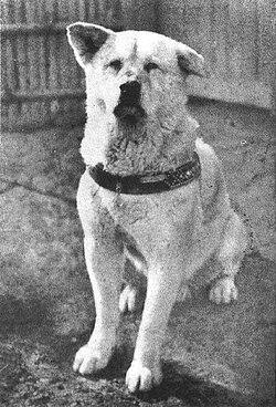 Bức ảnh Hachikō đầu năm 1935