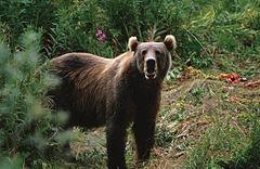Beruang coklat Kodiak