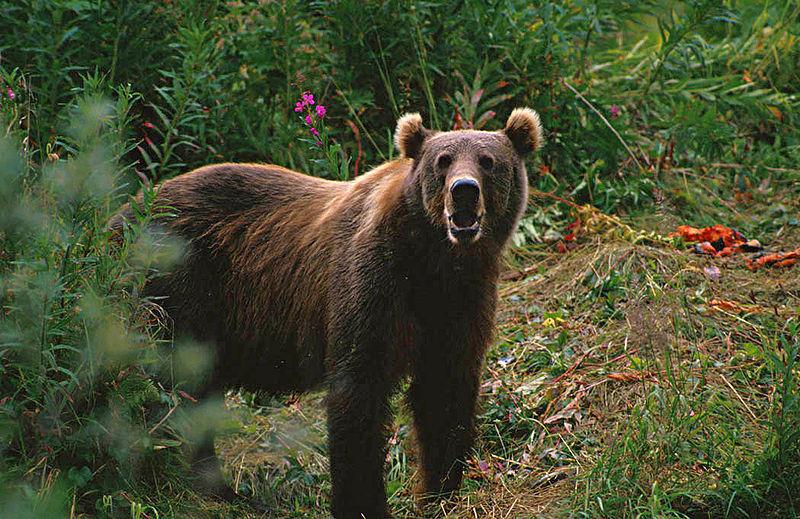 Berkas:Kodiak Brown Bear.jpg