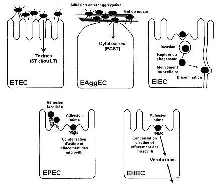 Adhésines D'Escherichia Coli; Adhésines d'E. coli