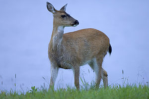English: Sitka Black-tailed deer (Odocoileus h...