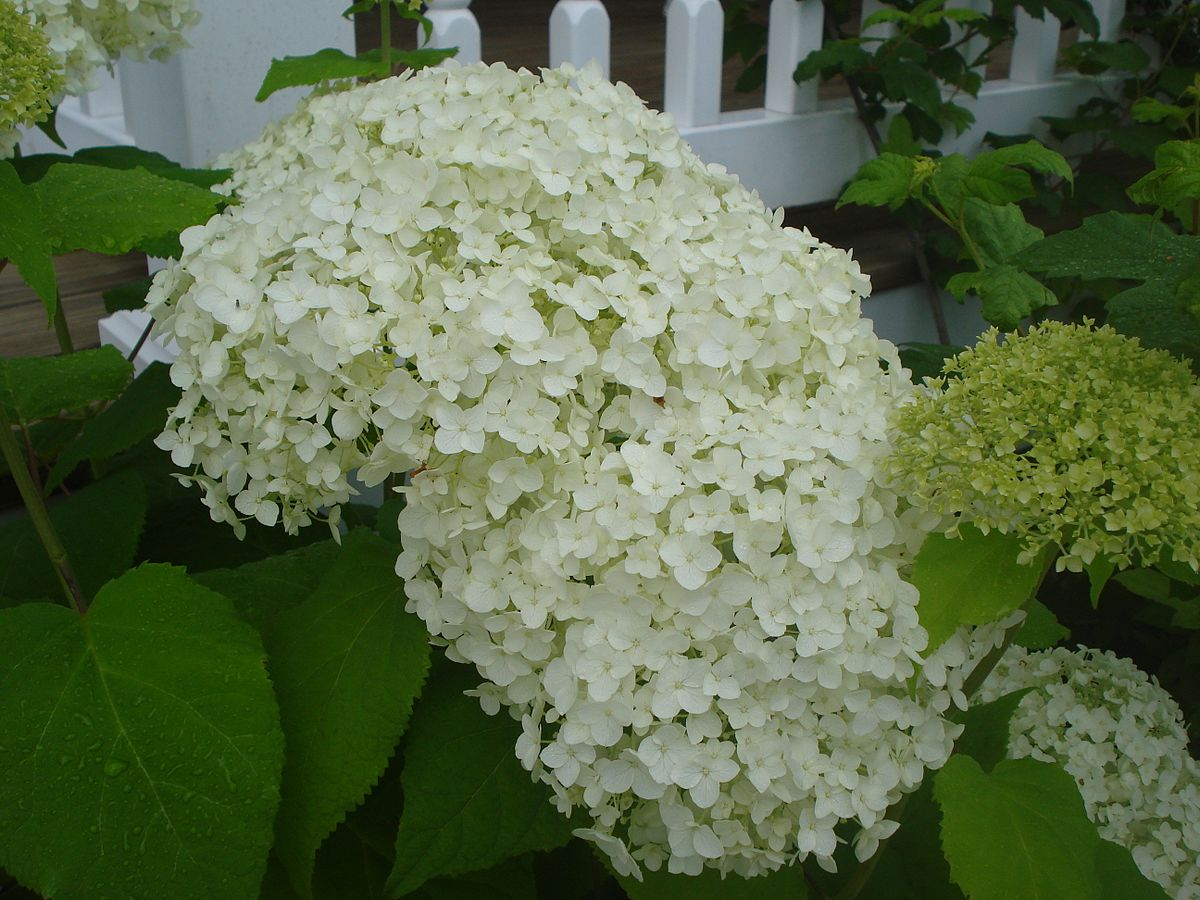 Sneeuwbal hortensia  Wikipedia