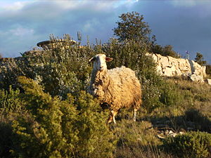A lost sheep, behind Rosemary plants, Catalonia