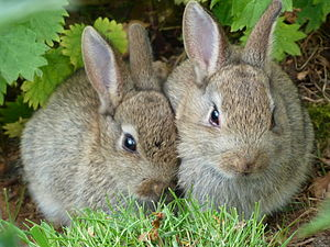 English: Two wild rabbits found in undergrowth...