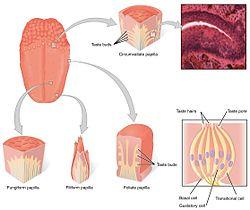 human taste buds diagram 1998 jeep grand cherokee radio wiring bud wikipedia 1402 the tongue jpg