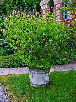 Aloysia citrodora, Verbenaceae, Lemon Verbena,...