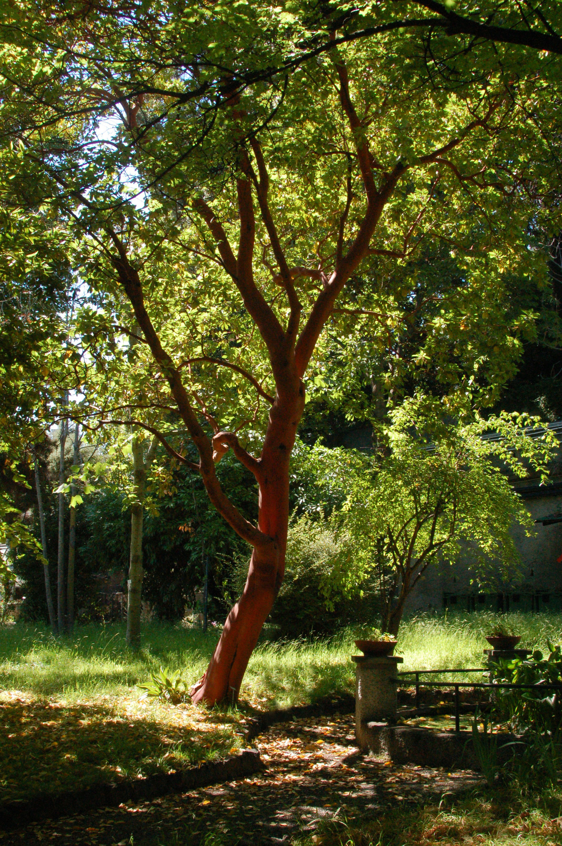 Arbutus Andrachne Wikipedia