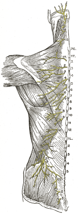 cervical vertebrae diagram two lights one switch posterior branches of the lumbar nerves - wikipedia