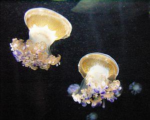 Mediterranean Jellyfish (Cotylorhiza tubercula...