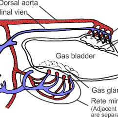 Perch Internal Anatomy Diagram 2003 Jetta Gli Stereo Wiring Swim Bladder - Wikipedia