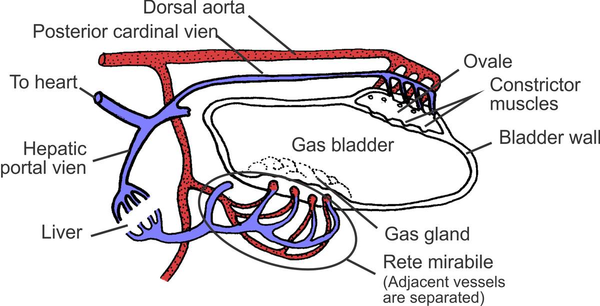 perch internal anatomy diagram weg motor capacitor wiring swim bladder - wikipedia
