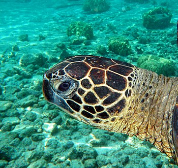 English: Underwater portrait of a Green Turtle...