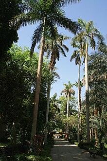 Roystonea regia  Wikipedia