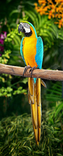 neotropical parrot wikipedia