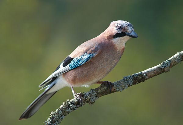 Eurasian Jay (Garrulus glandarius) Français : ...