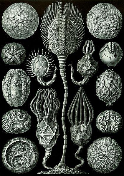 File:Haeckel Cystoidea.jpg