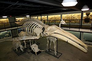 English: Humpback Whale Skeleton on Display in...