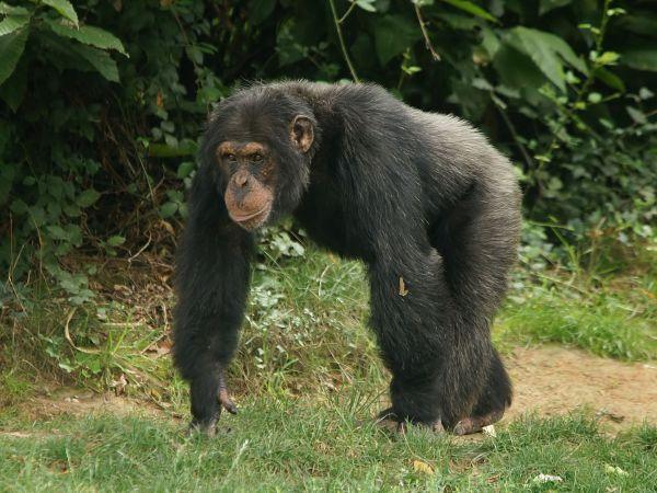 Common chimpanzee Wikipedia
