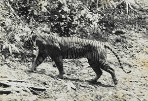 This photograph of a live Javan tiger, Panther...