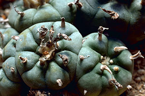 The Peyote cactus, the source of the peyote us...