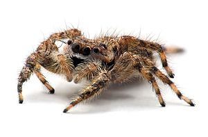 A 9 millimeter-long female jumping spider foun...